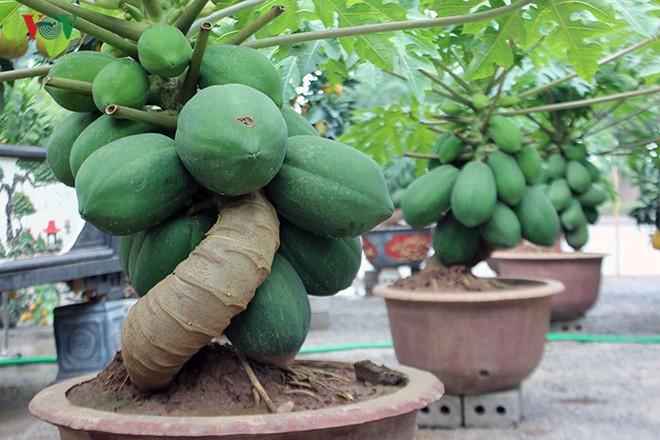"""Đu đủ bonsai: Thú chơi cây cảnh giá đắt """"bỏng tay"""" vẫn được săn lùng - Ảnh 1."""