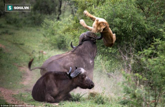 Trâu rừng đơn độc chiến đấu với bầy sư tử để cứu bạn: Kết cục có đẫm máu? - Ảnh 1.