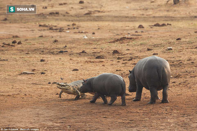 Không ngờ có ngày cá sấu cũng bị kẻ thù tấn công, phải vắt chân lên cổ mà chạy - Ảnh 1.