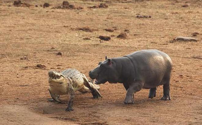 """Không ngờ có ngày cá sấu cũng bị kẻ thù tấn công, phải """"vắt chân lên cổ"""" mà chạy"""