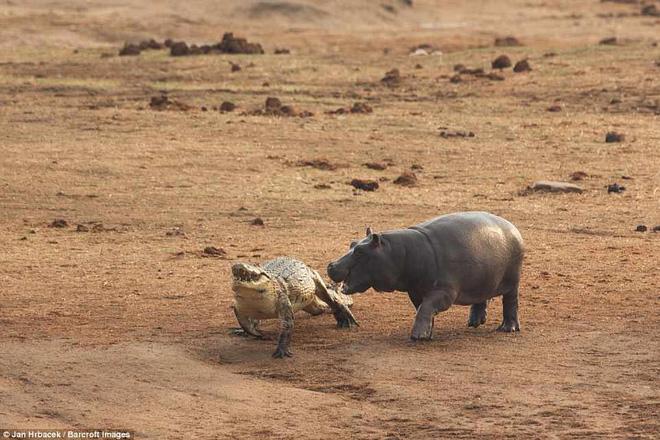 Không ngờ có ngày cá sấu cũng bị kẻ thù tấn công, phải vắt chân lên cổ mà chạy - Ảnh 4.