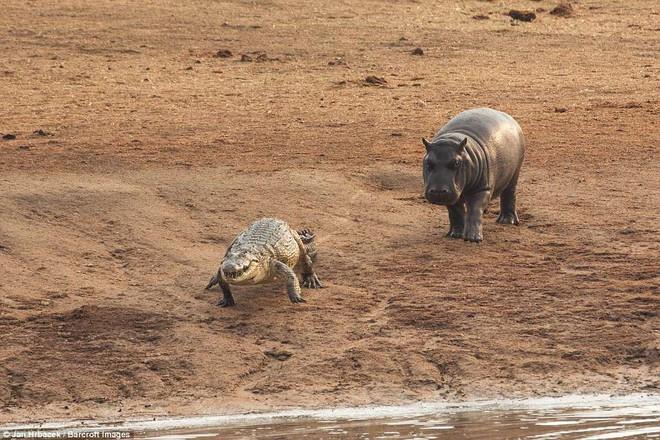 Không ngờ có ngày cá sấu cũng bị kẻ thù tấn công, phải vắt chân lên cổ mà chạy - Ảnh 5.