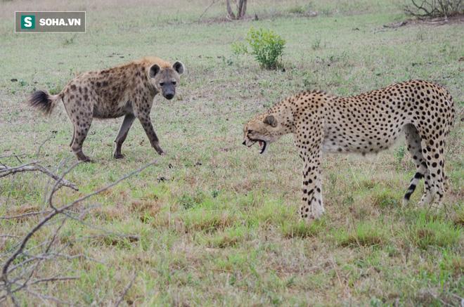 Cất công đi săn nuôi con, báo mẹ bị bóng đen mò tới ăn cướp trắng trợn - Ảnh 1.