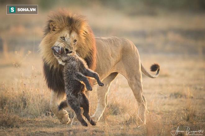 Sư tử giết hết 4 con non và dạy linh cẩu bài học đắt giá vì dám mạo phạm nhà vua - Ảnh 1.