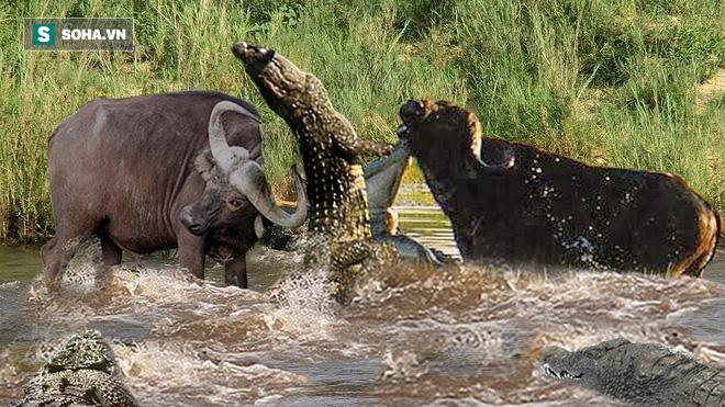Cá sấu chơi lớn, kéo cả trâu xuống giữa hồ và cách cuộc chiến kết thúc - Ảnh 1.