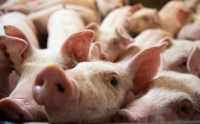 """Diplomat: """"Cơn khát"""" thịt lợn là nguyên nhân buộc Trung Quốc nhượng bộ ký thỏa thuận với Mỹ"""