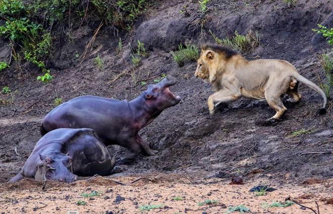 Soup sáng: Hà mã con liều mạng đuổi sư tử háu đói, bảo vệ mẹ bị bệnh - Ảnh 3.