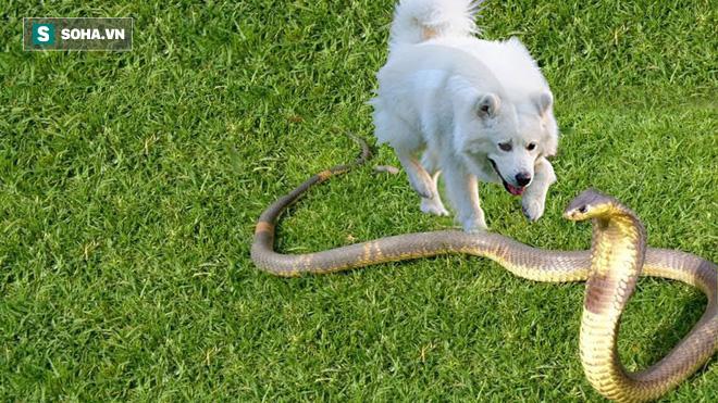 Hổ mang độc chiến giữa bầy chó: Vết đớp chí mạng và cái giá đắt phải trả - Ảnh 1.