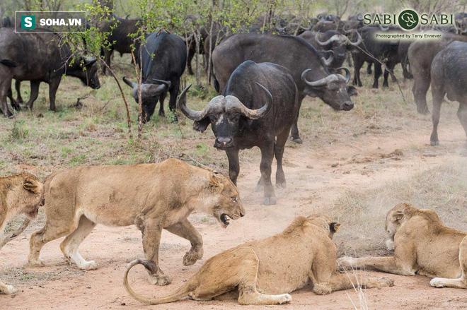 Trâu rừng đại chiến với bầy sư tử: Bên nào sẽ chiến thắng cuối cùng? - Ảnh 1.