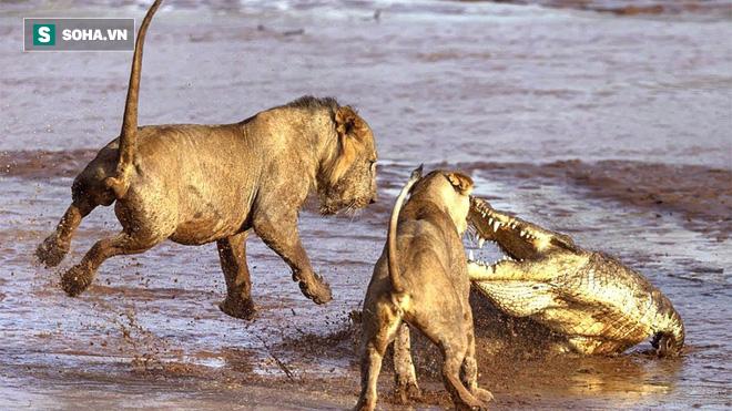 Cá sấu ngông cuồng, định ngôi chung mâm với sư tử: Kết cục bị dạy dỗ tới nơi tới chốn - Ảnh 1.