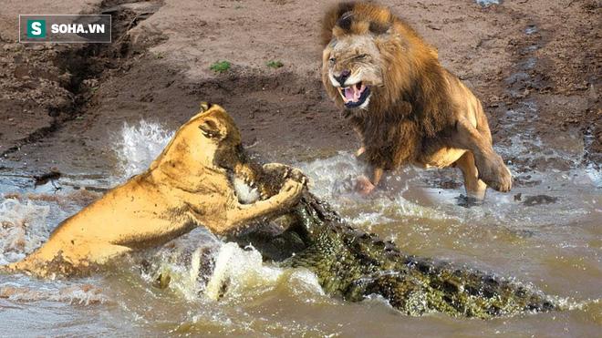 Cả bầy sư tử đang chuẩn bị nhập tiệc trên sông thì bị cá sấu tới... hỏi thăm - Ảnh 1.