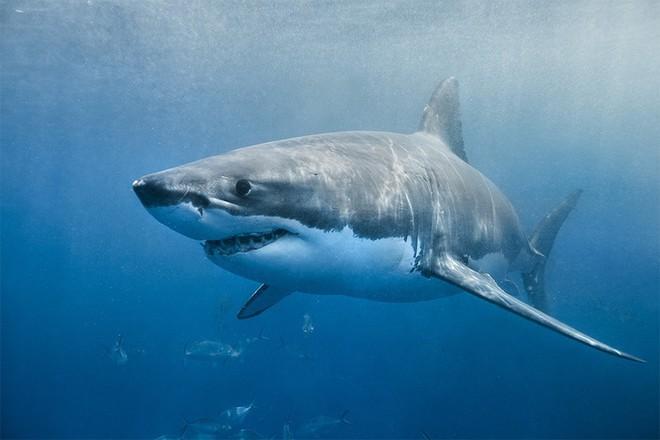 Bị cá mập trắng bơi lao tới tấn công, nữ thợ lặn vẫn điềm tĩnh quay phim chụp ảnh - Ảnh 1.