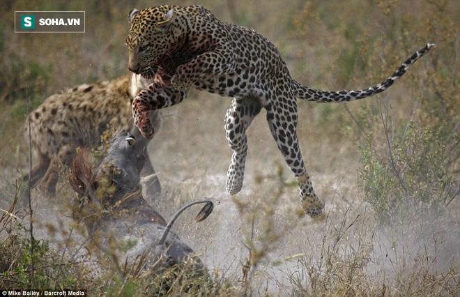 Gần hạ gục lợn bướu, báo vừa bị thương nặng vừa mất mồi ngon vì kẻ thù - Ảnh 1.