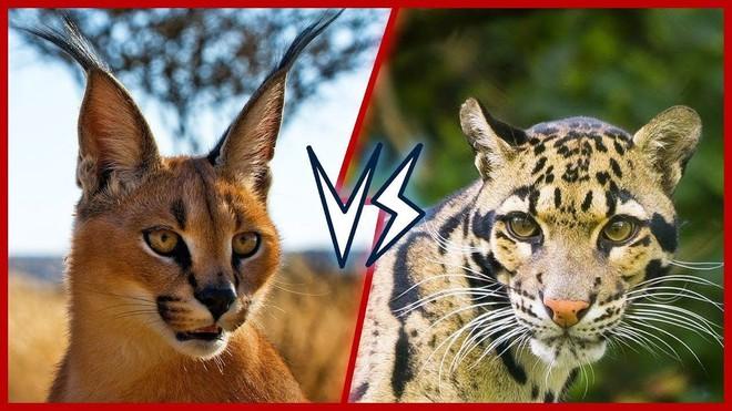 Không phải hổ báo hay sư tử, đây là những sát thủ ít tiếng tăm hơn của họ nhà mèo - Ảnh 1.
