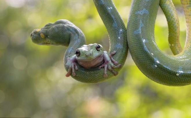 Rắn hùng hổ lao vào tấn công ếch, chưa được bao lâu đã từ bỏ ý định và hồi kết đáng ngẫm