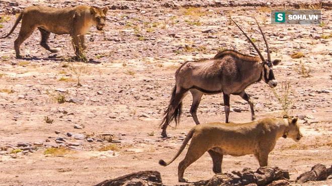 Săn mồi tại nơi khắc nghiệt bậc nhất thế giới, 2 chị em sư tử cũng bất lực vì con mồi - Ảnh 1.