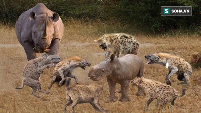 Thử một lần chơi lớn, linh cẩu tấn công cả tê giác, vậy kết cục sẽ ra sao? - Ảnh 1.