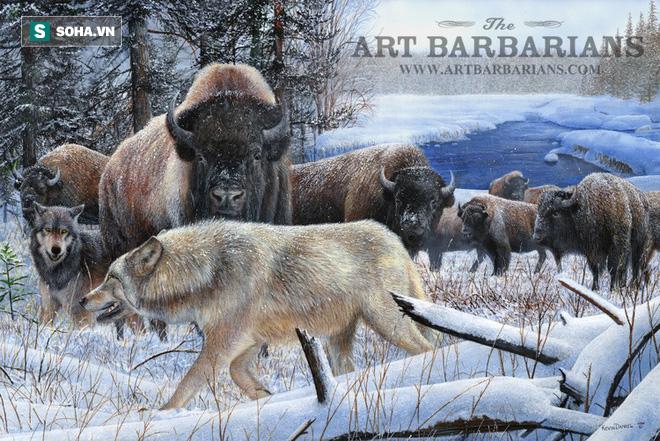 Chó sói đổ máu vì gặp bò khỏe: Trận huyết chiến trên tuyết sẽ kết thúc ra sao? - Ảnh 1.