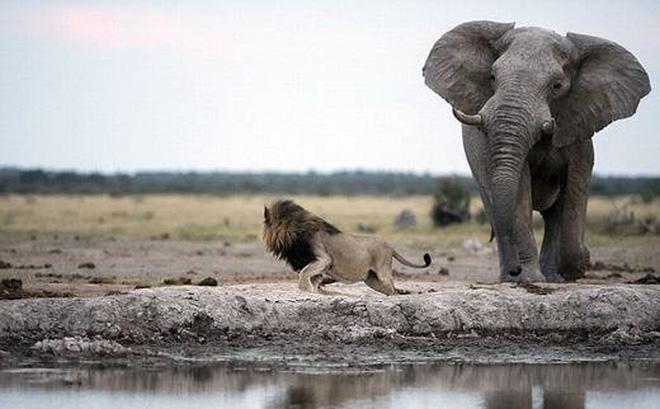 Thấy voi liên tục giậm chân thình thịch, sư tử định nhờ hiến kế lập tức đổi ý vì nhận ra 1 sự thật đáng ngẫm