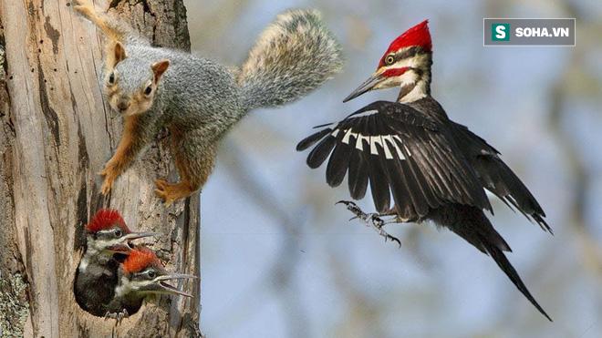 Sóc mò vào tổ định hại con non cướp chỗ ở, chim gõ kiến mẹ quay về và cái kết khó tin - Ảnh 1.