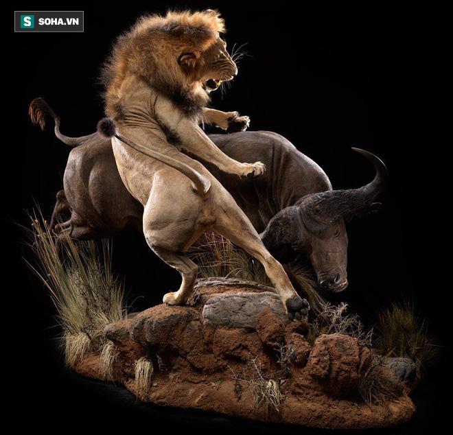 Trâu rừng đang chống chọi cả bầy sư tử thì được 2 bóng đen tới cứu: Số phận nó sẽ ra sao? - Ảnh 1.
