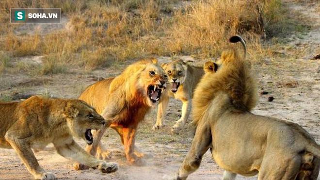 Sư tử bị đồng loại cắn xé như con mồi, giết chết không thương tiếc - Ảnh 1.