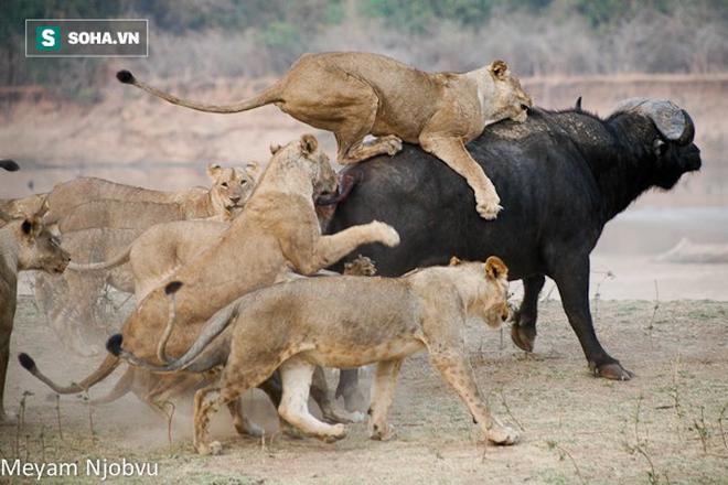 Trâu rừng dũng mãnh cân cả bầy sư tử, cuộc chiến dai dẳng sẽ kết thúc ra sao? - Ảnh 1.