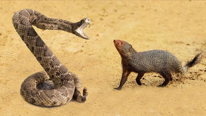 Rắn đuôi chuông cuống cuồng chạy trốn vẫn không thoát khỏi nanh vuốt kẻ thù - Ảnh 1.