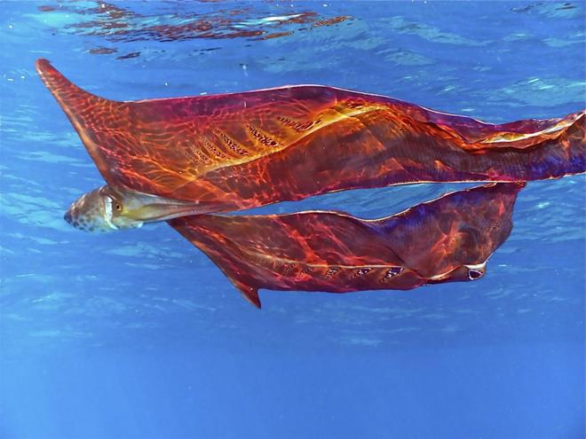 Ảnh: Bạch tuộc chăn - sinh vật hiếm có và kỳ dị bậc nhất thế giới - Ảnh 2.