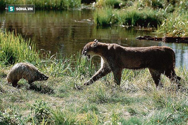 Báo sư tử dùng hết sức bình sinh cắn vào cổ lửng mật và cái kết bất ngờ - Ảnh 1.