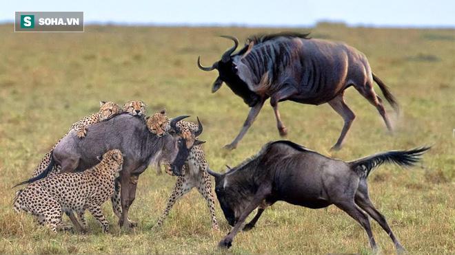 Báo săn làm linh dương gãy cả chân mà vẫn vuột mất con mồi vì bóng đen đang lao đến - Ảnh 1.