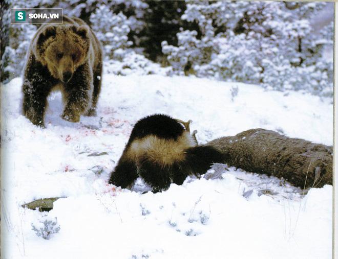Sự hung hăng của gã côn đồ Wolverine: Leo lên cây tấn công cả gấu đen - Ảnh 1.