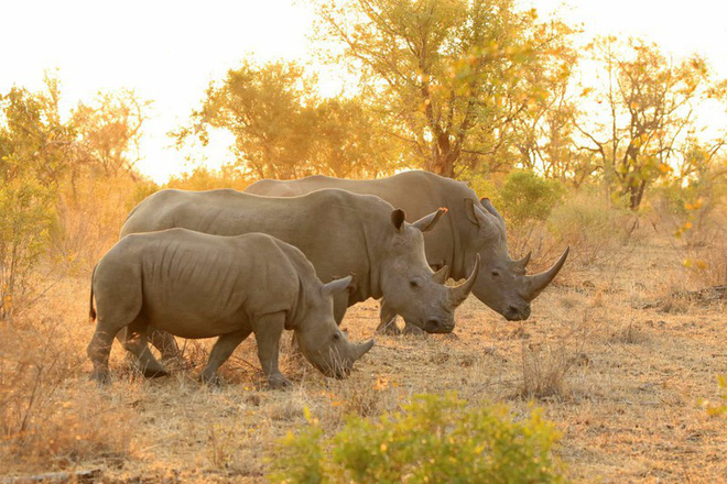 Gia đình tê giác trắng đi dạo cùng nhau trong buổi hoàng hôn ở Nambia.