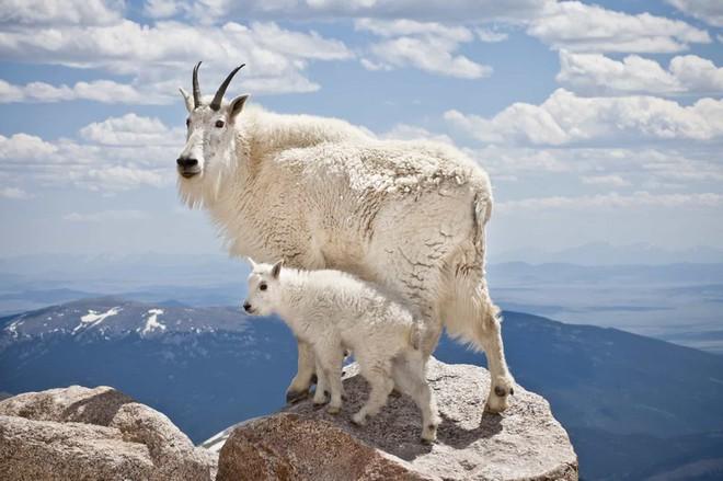 Mẹ con dê núi ở giữa thiên nhiên hùng vĩ tại Colorado, Mỹ.