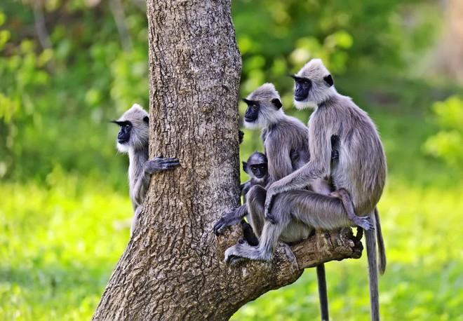 Gia đình khỉ xám ở Vườn Quốc gia Nagarhole tại Mysore, Ấn Độ.