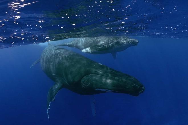 Một chú cá voi lưng dù khổng lồ đang dạy con mình những bài học đầu tiên về biển cả tại quần đảo Azores, Bồ Đào Nha.