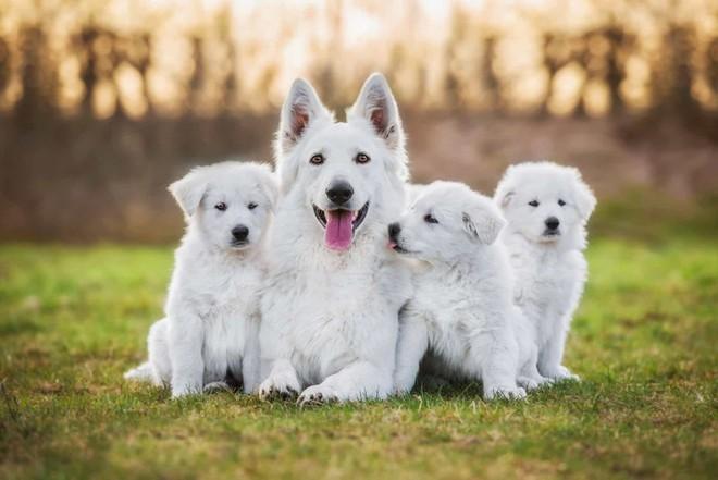 Chú chó chăn cứu trắng Thụy Sĩ này có vẻ rất tự hào về đàn con đáng yêu của mình.