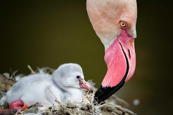 Chim hồng hạc mẹ đang chăm sóc cho đứa con bé bỏng của mình ở Tusinia.