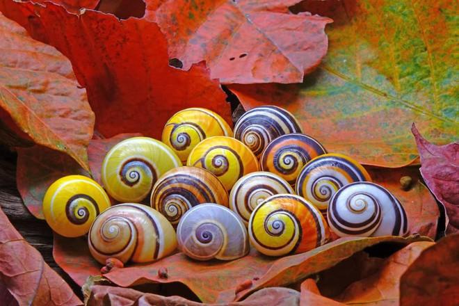 Gia đình ốc sên Cuba - một trong những loài ốc sên đẹp nhất thế giới trông như những viên đá đầy sắc màu.