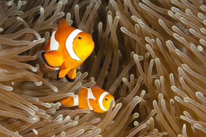 Cá hề con bơi cùng cha mẹ ở Thái Bình Dương./.