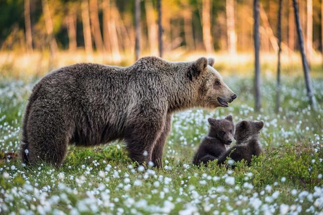 Hai chú gấu con chơi đùa với nhau trong sự giám sát của mẹ gấu trên cánh đồng hoa thơ mộng ở Nga.