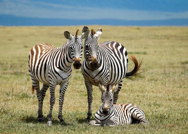 Bức ảnh chân dung gia đình tuyệt đẹp của những chú ngựa vằn ở Khu Bảo tồn Ngorongoro, Tanzania.