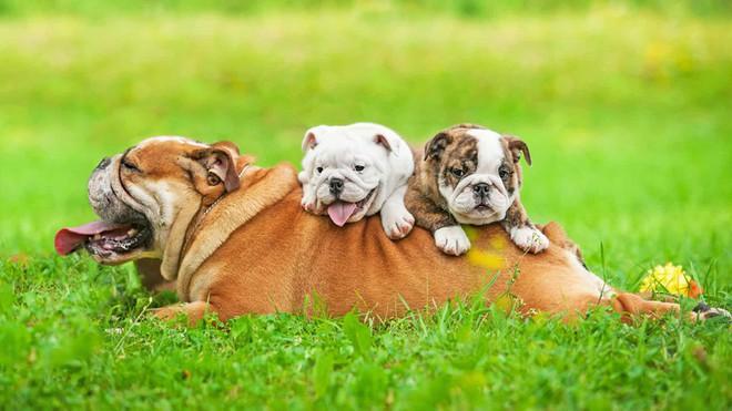 Một chú chó bull nằm tắm nắng cùng hai chú cún đáng yêu ở Anh.