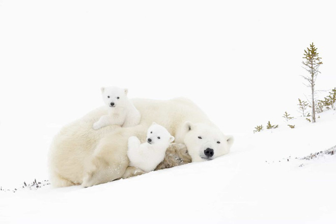 Cảnh tượng đáng yêu của gia đình gấu Bắc cực.