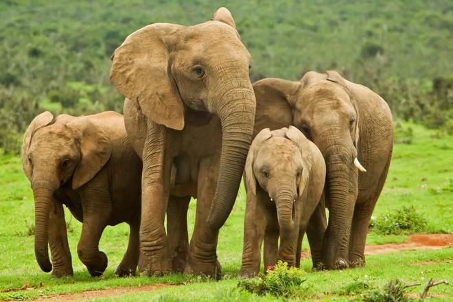 Những chú voi con đi dạo cùng voi mẹ trong Vườn Quốc gia Kruger, Nam Phi.