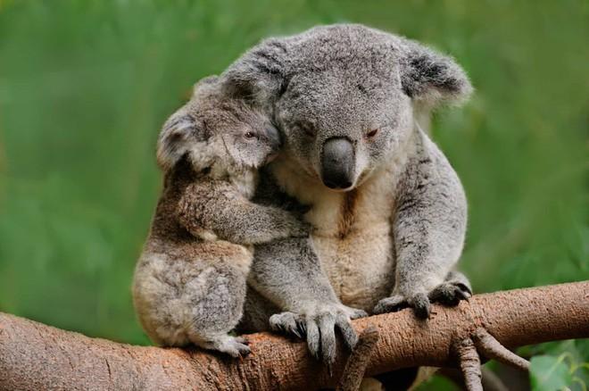 Một chú gấu koala đang làm nũng mẹ ở Australia.