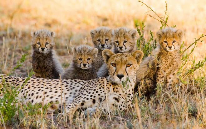 Báo mẹ và đàn báo con luôn đề cao cảnh giác giữa thiên nhiên hoang dã với sự cạnh tranh sinh tồn khốc liệt trong Khu Dự trự Quốc gia Maasai Mara ở Kenya.