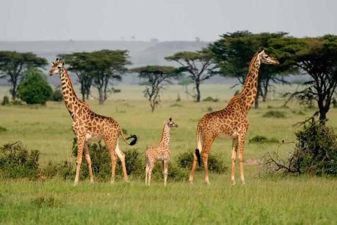 Chú hươu cao cổ con này sẽ còn một chặng đường dài để có được chiều cao như ba mẹ. Bức ảnh gia đình hươu cao cổ được chụp ở Vườn Quốc gia Mikumi, Tanzania.