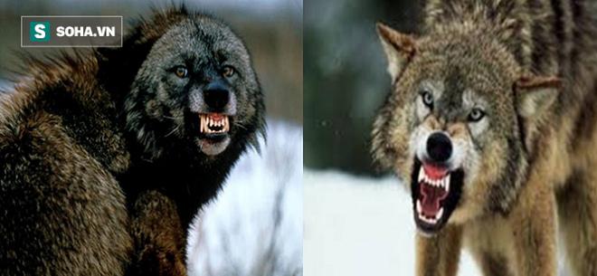 Chồn Gulo lăn xả, khiêu vũ giữa bầy sói mà vẫn chiến thắng oanh liệt - Ảnh 1.