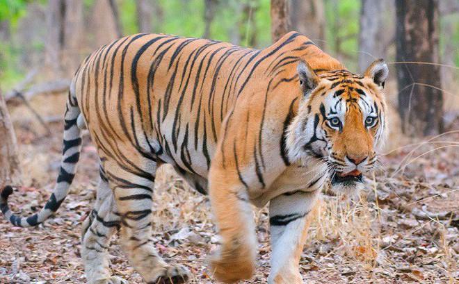 Hổ đực đánh dằn mặt đối thủ để bảo vệ lãnh thổ